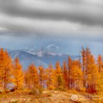 September Larches